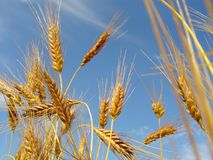 Het Gebied van het graan! Royalty-vrije Stock Afbeeldingen