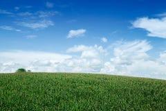 Het gebied van het graan Royalty-vrije Stock Foto