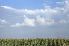 Het gebied van het graan Royalty-vrije Stock Afbeeldingen