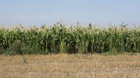 Het gebied van het graan stock video