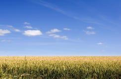 Het Gebied van het graan Stock Fotografie