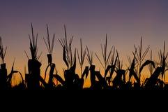 Het gebied van het graan bij zonsondergang Stock Afbeeldingen
