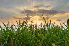Het gebied van het graan bij zonsondergang Royalty-vrije Stock Fotografie