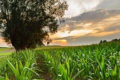 Het gebied van het graan bij zonsondergang Royalty-vrije Stock Afbeeldingen