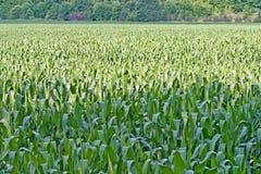 Het Gebied van het graan in de Zomer Royalty-vrije Stock Foto's