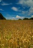 Het gebied van het graan en blauwe hemel stock afbeeldingen