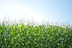 Het gebied van het graan en blauwe hemel Royalty-vrije Stock Afbeeldingen