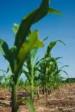 Het gebied van het graan het groeien stock fotografie
