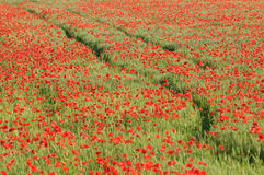 Het gebied van het graan met rode papavers Royalty-vrije Stock Afbeeldingen