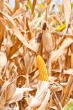 Het gebied van het graan in oogsttijd Stock Fotografie