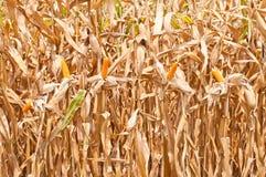 Het gebied van het graan in oogsttijd Stock Foto