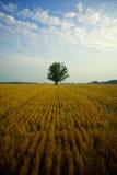 Het gebied van het graan in platteland Royalty-vrije Stock Fotografie