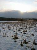 Het gebied van het graan tijdens bewolkte avond stock afbeelding