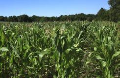 Het gebied van het Graan van de maïs Stock Foto