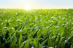 Het gebied van het graan in zonsondergang - maïsgebied Royalty-vrije Stock Foto's