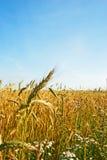 Het gebied van het graangewas Stock Foto's