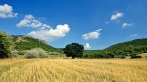 Het gebied van het graangewas in de zomer Stock Foto