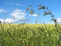 Het gebied van het gras Royalty-vrije Stock Fotografie