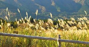 Het Gebied van het Gras van Pamapas in de herfst in Hakone, Japan Royalty-vrije Stock Afbeelding