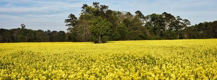 Het gebied van het raapzaad in bloei Stock Afbeelding
