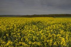 Het gebied van het raapzaad in platteland Stock Afbeelding