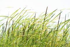 Het gebied van het riet op winderige dag stock afbeelding