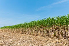 Het gebied van het suikerriet Royalty-vrije Stock Fotografie