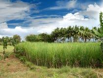Het gebied van het suikerriet Royalty-vrije Stock Foto