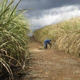 Het gebied van het suikerriet Royalty-vrije Stock Afbeeldingen