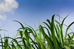Het gebied van het suikerriet in blauwe hemel en witte wolk Stock Foto