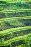 Het gebied van het Terras van de rijst, Ubud, Bali, Indonesië. Royalty-vrije Stock Afbeelding