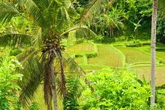 Het gebied van het Terras van de rijst, Ubud, Bali, Indonesië. stock foto's