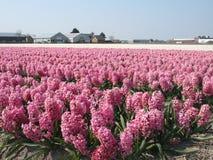 Het gebied van Hyacint Stock Foto