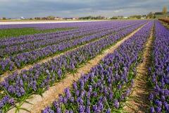Het gebied van Hyacinthus in Holland Stock Foto