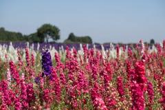 Het gebied van kleurrijk ridderspoor bloeit in Wiek, Pershore, Worcestershire, het UK De bloemblaadjes worden gebruikt om huwelij Royalty-vrije Stock Foto