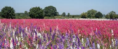 Het gebied van kleurrijk ridderspoor bloeit in Wiek, Pershore, Worcestershire, het UK De bloemblaadjes worden gebruikt om huwelij Stock Afbeelding