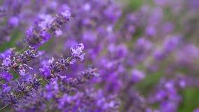 Het gebied van lavendelina stock videobeelden