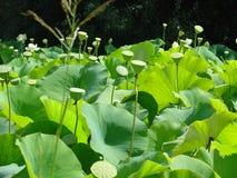 Het gebied van Lotus van peulen royalty-vrije stock afbeelding