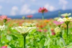 Het gebied van madeliefje bloeit kleurrijk Royalty-vrije Stock Fotografie