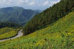 Het Gebied van Maxicanzonnebloemen en Pijnboomboom op de Berg Royalty-vrije Stock Foto