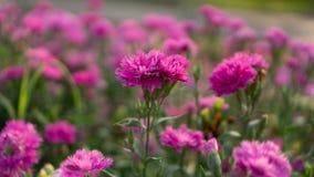 Het gebied van mooie roze bloemblaadjes van de bloesem van de Anjerbloem op groene die bladeren vertroebelde achtergrond, als Kru stock afbeelding