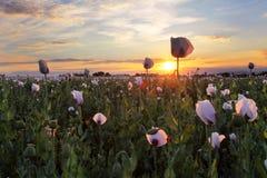 Het gebied van papavers bij zonsondergang Royalty-vrije Stock Fotografie