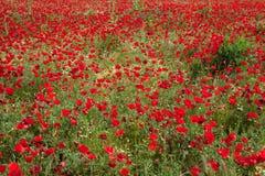 Het gebied van papavers, Griekenland Royalty-vrije Stock Foto