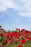 Het gebied van papavers onder de blauwe hemel van Griekenland stock foto