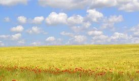 Het gebied van papaversbloemen Stock Foto
