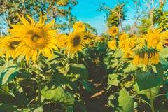 Het gebied van Prettiestzonnebloemen in de middag in Nakhon Pathom, Thailand Close-up van zonnebloem op landbouwbedrijf stock afbeelding
