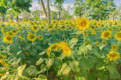 Het gebied van Prettiestzonnebloemen in de middag in Nakhon Pathom, Thailand Close-up van zonnebloem op landbouwbedrijf stock foto