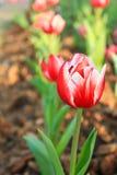 Het gebied van rode tulpen sluit omhoog Royalty-vrije Stock Afbeeldingen
