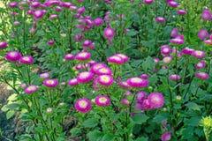Het gebied van roze en gele bloemblaadjes van de bloesem van de Eeuwige of Strobloem op groene bladeren, deze installatie kent al royalty-vrije stock foto