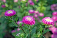 Het gebied van roze en gele bloemblaadjes van de bloesem van de Eeuwige of Strobloem op groene bladeren, deze installatie kent al royalty-vrije stock afbeelding